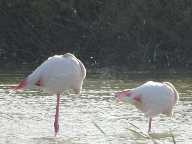 flamencos rosa caracteristica