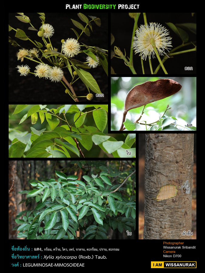 Xylia Xylocarpa: Thai Plant Pics: แดง