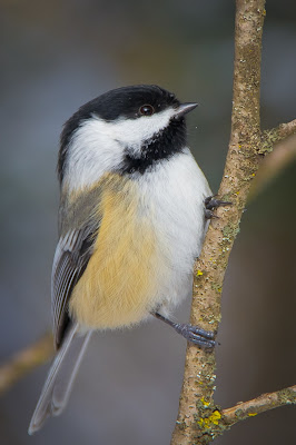 Ottawa Urban Wild Bird Chickadee Wild. Here. Viliam Glazduri Photographer