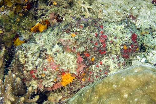 Kamuflase Reef Stonefish