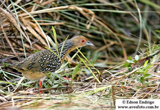 Ocellated Crake