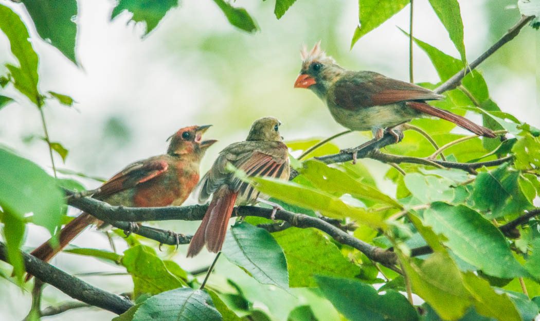 cardinal feeds fledglings
