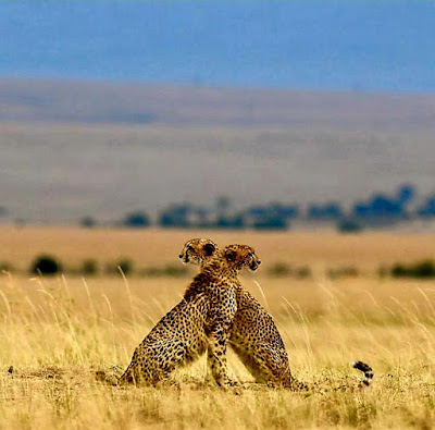 Cheetahs looking over for each other.