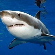 Coloque um tubarão no seu aquário!