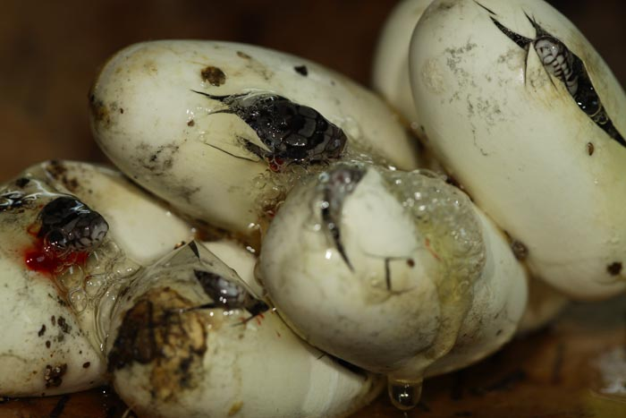 All Of Nature Fox Snake Eggs Hatching