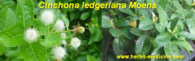 Malaria treatment use Cinchona ledgeriana Moens