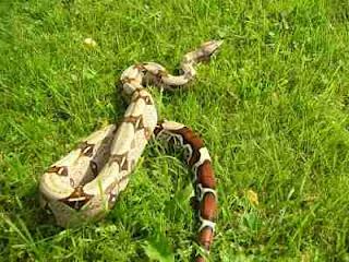 ular boa besar