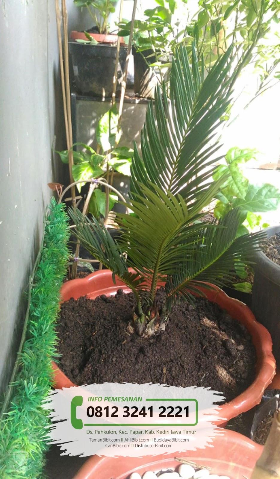 Jual Bibit Pohon Sikas (Mawar Jambe)