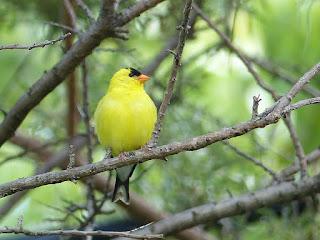 Chardonneret jaune - Carduelis tristis