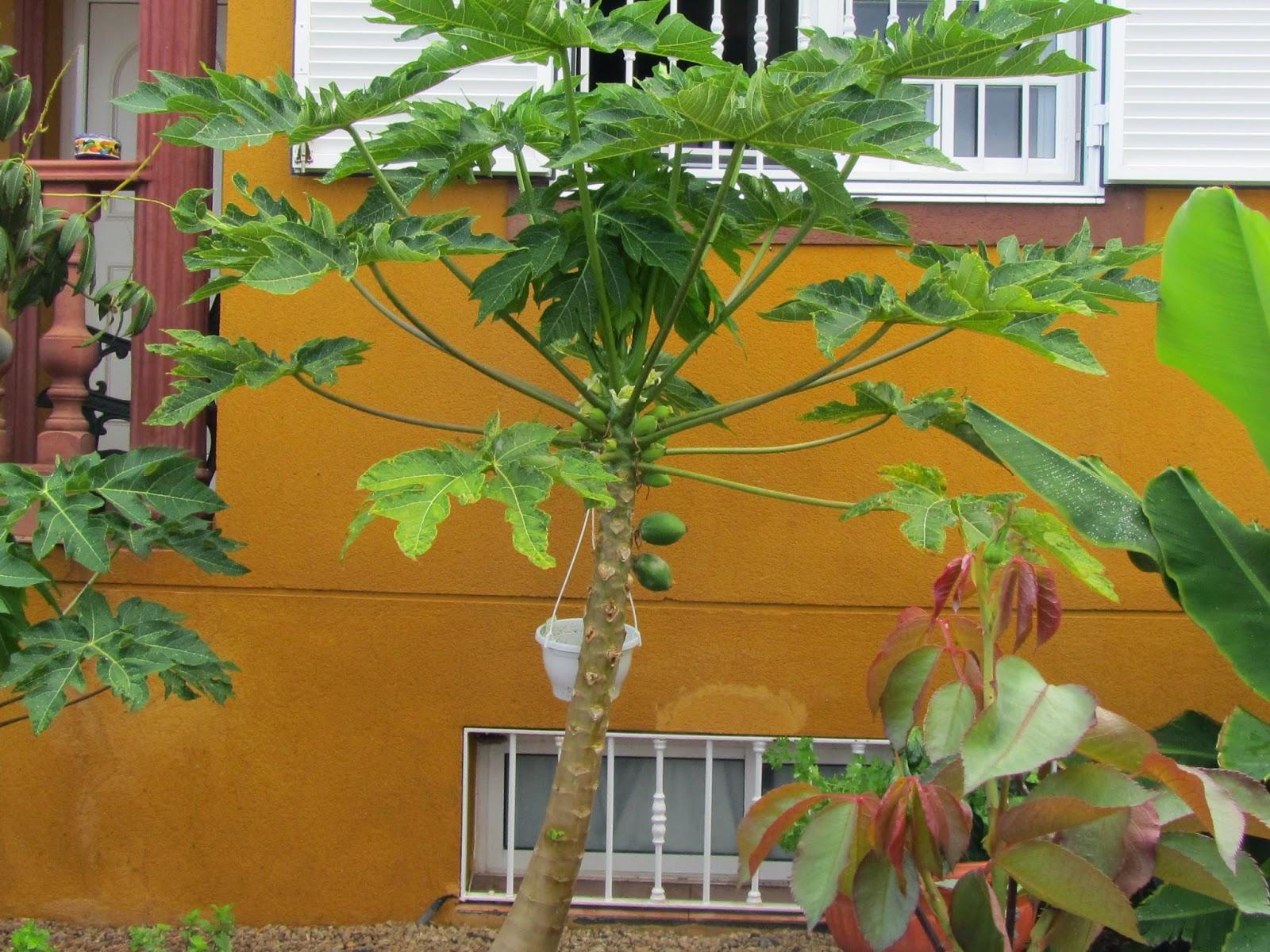 Come Seccare Le Piante papaya, coltivazione in italia ?! - fruttama.it