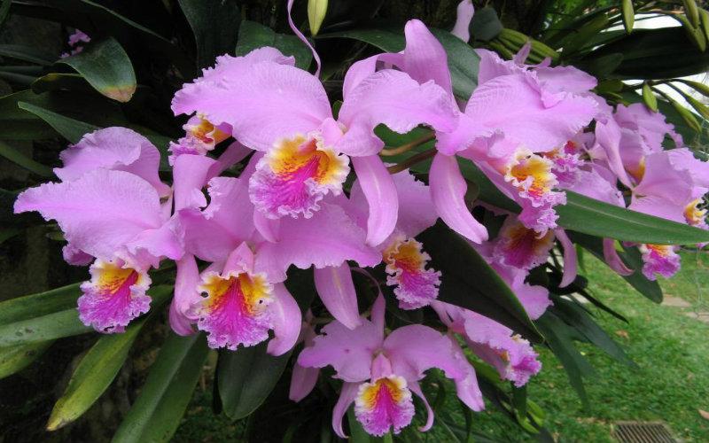 Símbolo Natural Orquídea