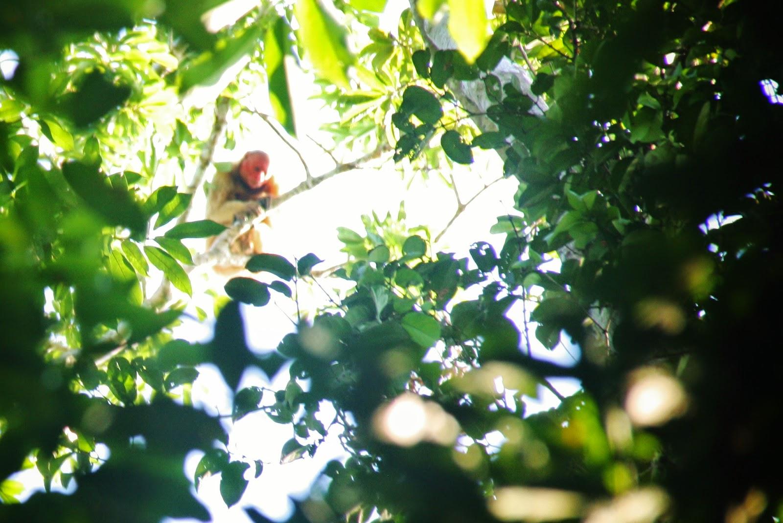 Macaco Uacari, típico da várzea amazônica.