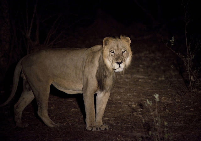 No longer king of the jungle: New fund to aid Africa's lions