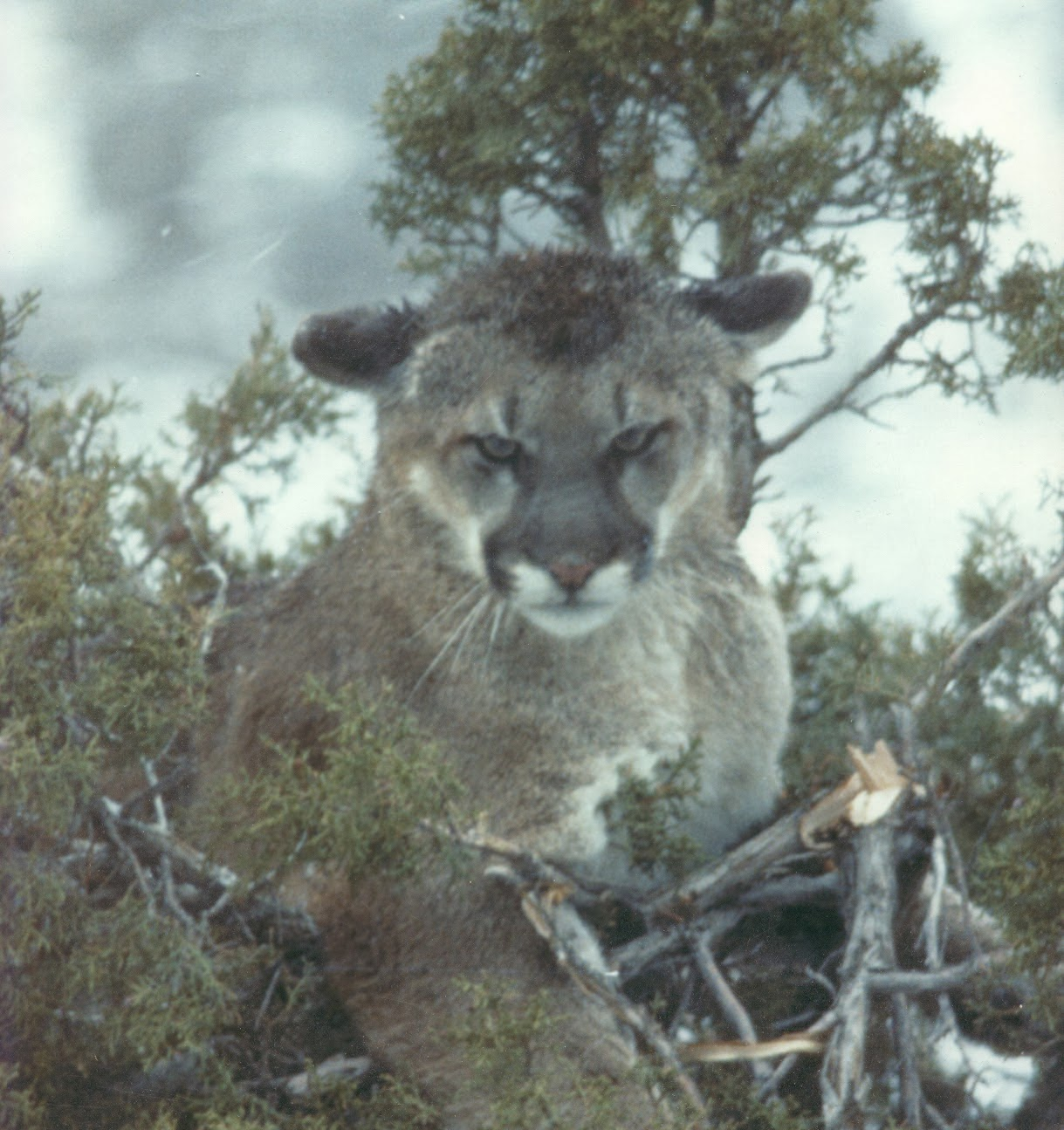 Living Alongside Wildlife: Cougars and Wolves in the East ...