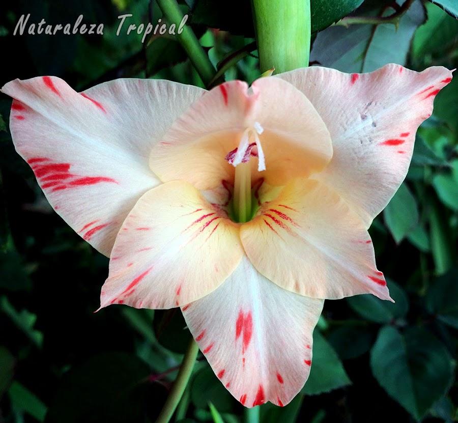 Los gladiolos son plantas aromáticas por excelencia; muchas de sus flores desprenden un olor muy agradable