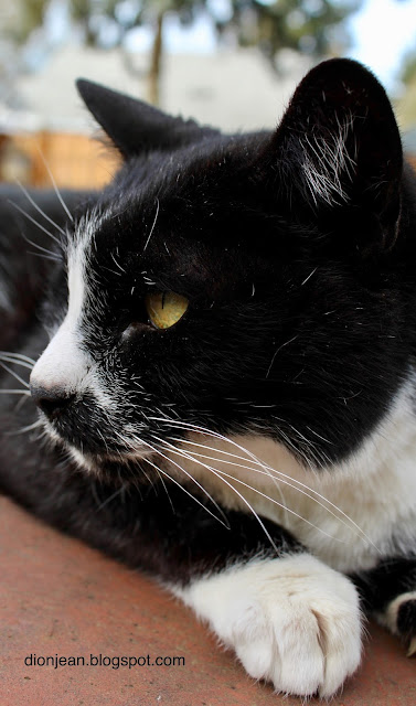 Very old tuxedo cat