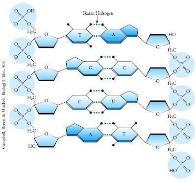 nukleotida yang saling terpaut membentuk polinukleotida yang amat panjang Struktur Kimia DNA