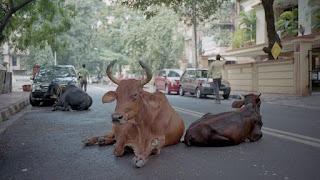 Un tribunal de la India concede a los animales los mismos derechos que a los humanos