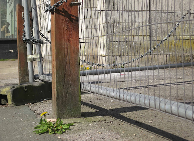 Dandelions growing by fencing which protects the forecourt of derelict pub.