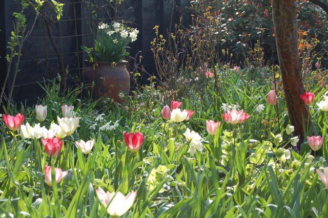 Voorjaarstuin roze tulpen bloembollen