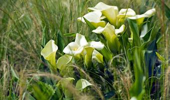 Bulbos de verano: Cala o lirio de agua (Zantedeschia)