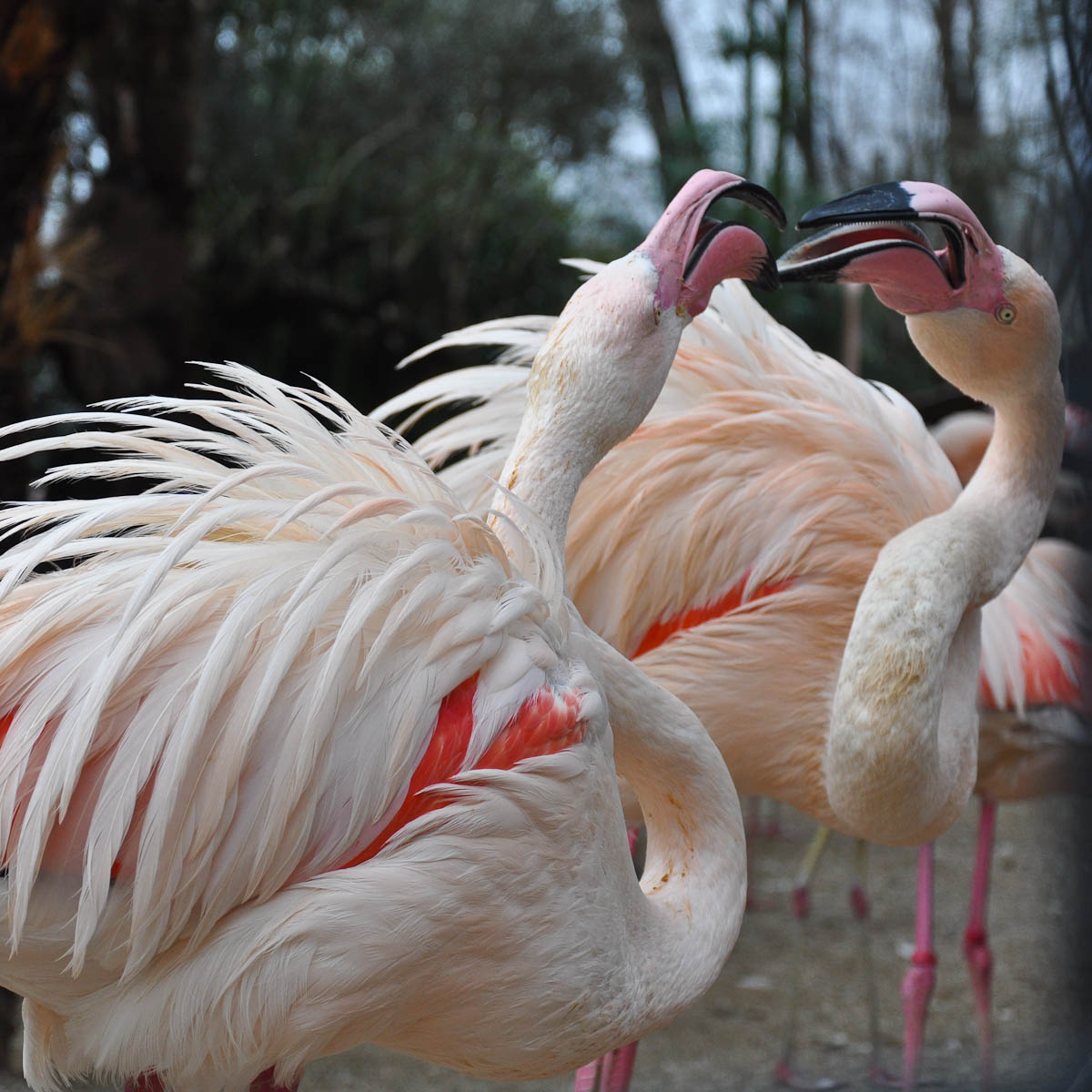 Kissing flamingoes, Parco Faunistico Cappeller, Nove, Veneto, Italy