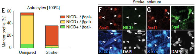 NOTCH-1 receptor