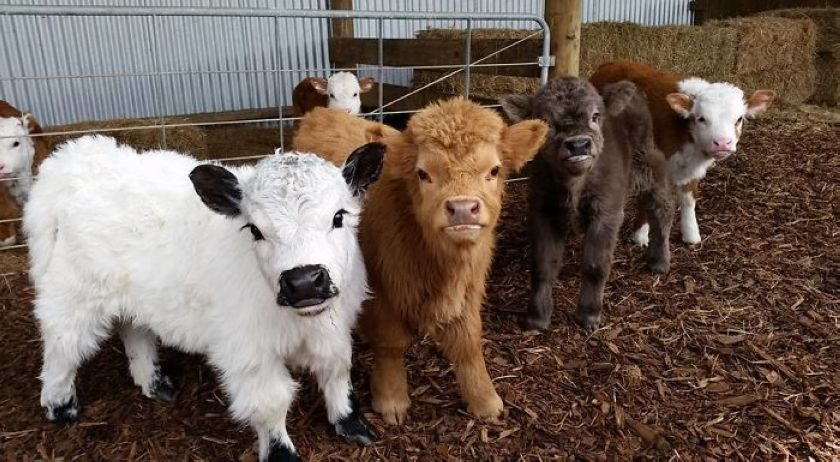 If You Ever Feel Sad, These Cattle Calves Will Make You Smile