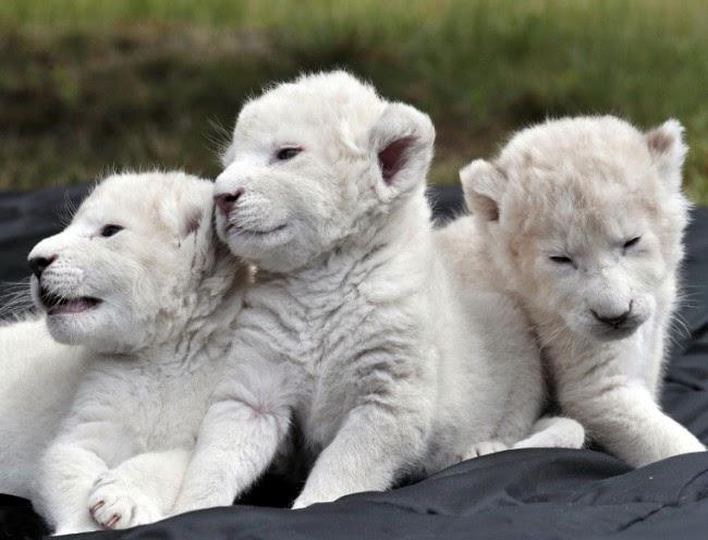 anak-singa-putih-sangat-lucu