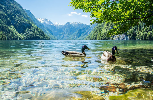 Two Ducks In The River Daylight  Gives Beautiful Scenic  In The Water of River HD 1080p Wallpaper