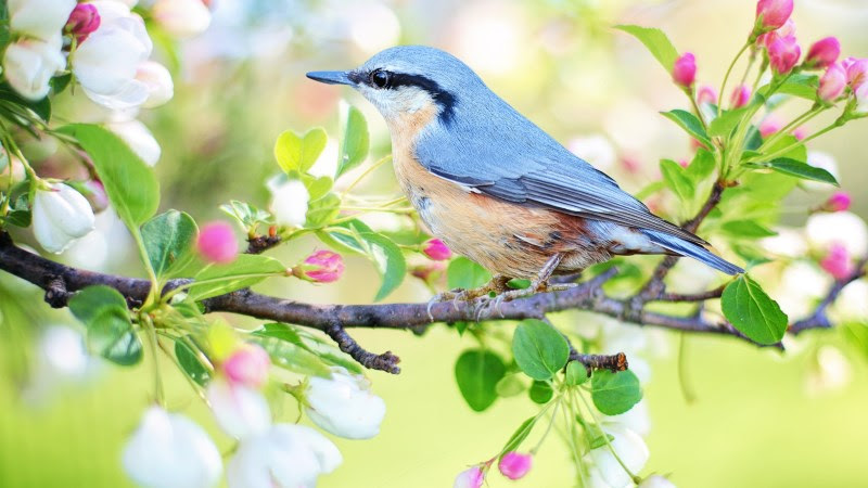 Blue Bird. Spring Flowering