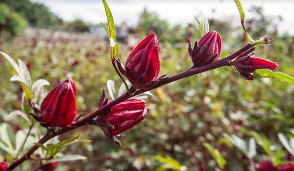 Ini Dia Manfaat Bunga Rosella untuk Diet yang Sangat Berkhasiat