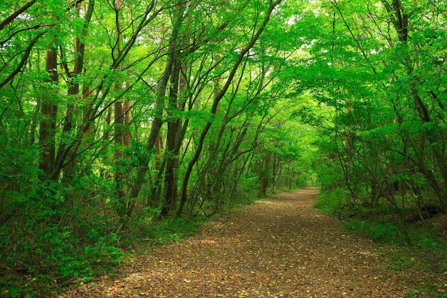 Aokigahara, hutan indah dari jepang yang mempunyai unsur mistis