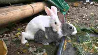 kelinci sedang kawin