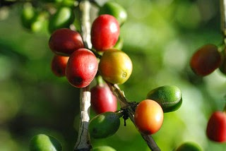 Coffee Beans Growing on a Small Farm