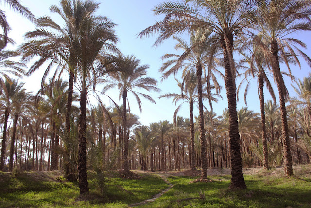 A vast palm grove and it high palm trees in Iran.