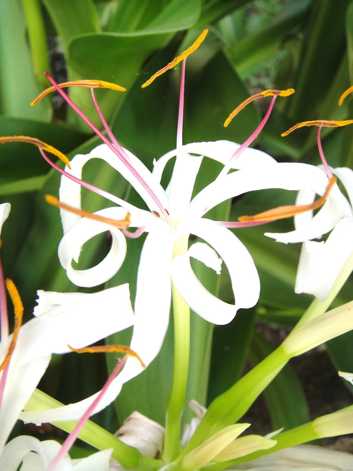 DWAN雲之端: 文珠蘭--又名文殊蘭 (學名:Crinum asiaticum ,南傳佛教的英文,南傳佛教怎么讀,英文名稱意指為「有毒的鱗莖 ...