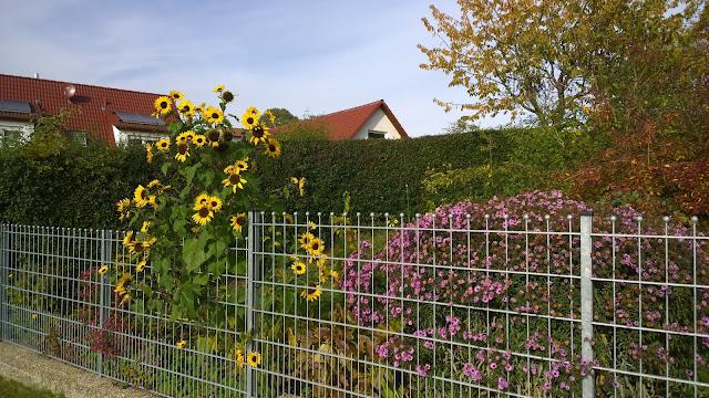 Sonnenblume und Astern im Spätherbst (c) by Joachim Wenk
