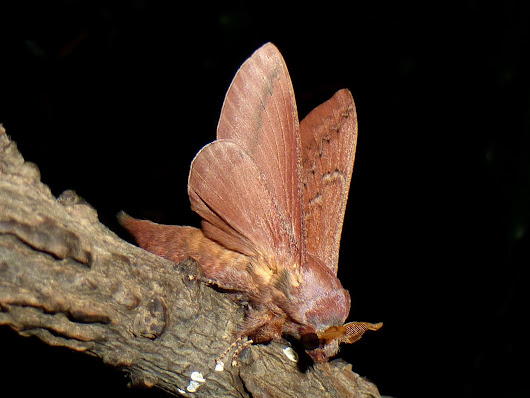 The Lappet Show: Pallastica species South Africa