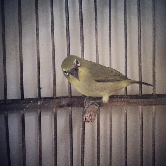 Informasi penting bagi Anda kicaumania Yogyakarta yang ingin berburu burung kicauan di pa Daftar Harga Burung Kicauan Terbaru November 2018 di Yogyakarta