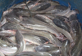 cara budidaya ikan lele dengan terpal