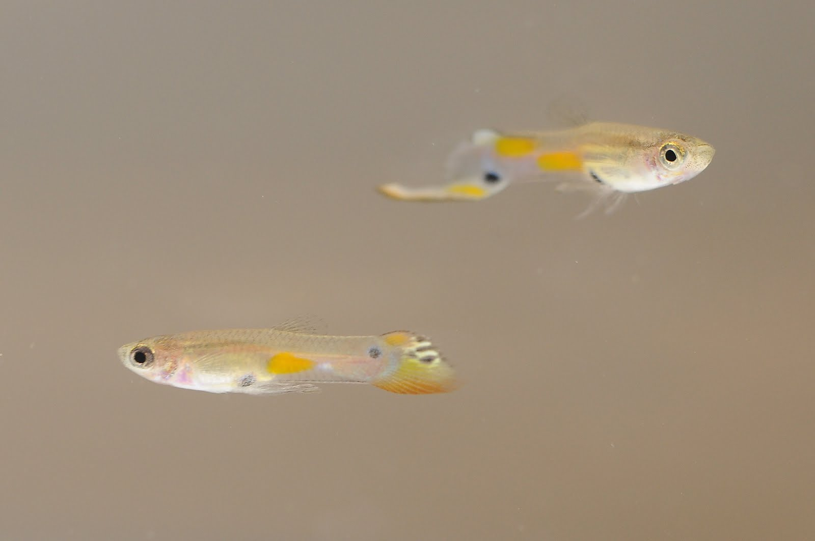 a study of the courtship behaviors of the male guppy In the guppy, poecilia reticulata, a male approaching a female abandons his courtship when a rival male appears next to the focal female however, the effect of the relative quality of the males on this behavioural change is unknown.