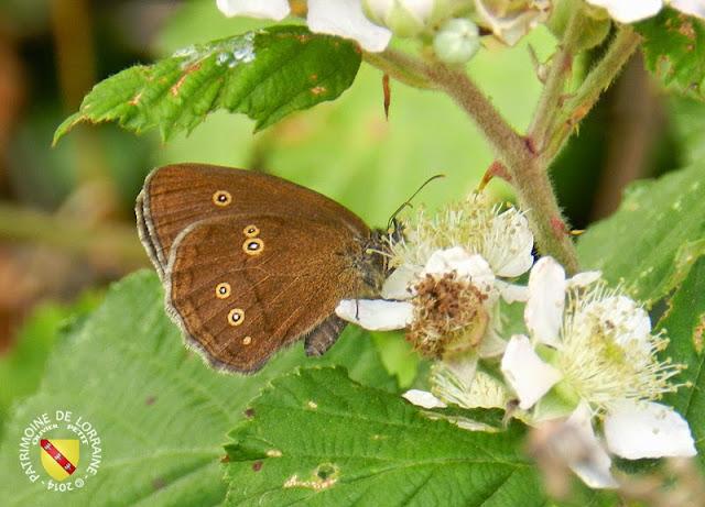 Tristan (Aphantopus hyperantus)