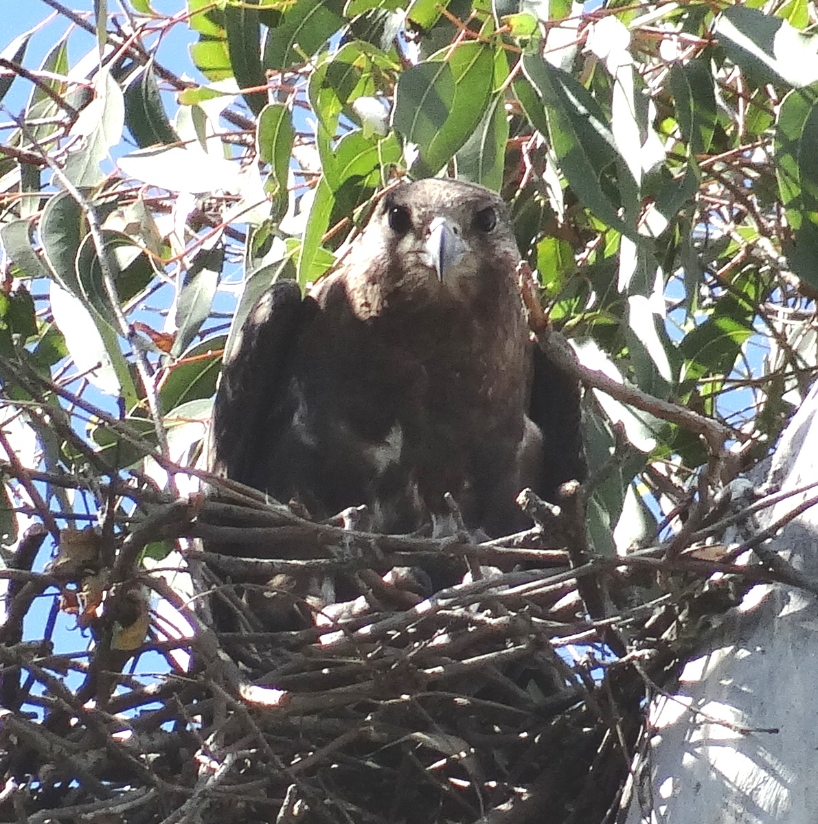 sunshinecoastbirds: Black Falcon Nesting in Lockyer Valley