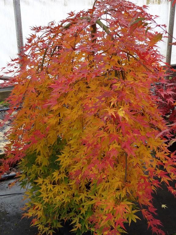 Flora Wonder Blog Maples On My Mind