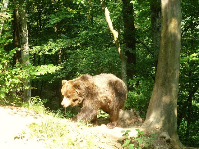orso bruno in trentino