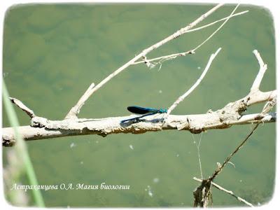 Самец стрекозы красотки, река, коряга стрекоза сидит