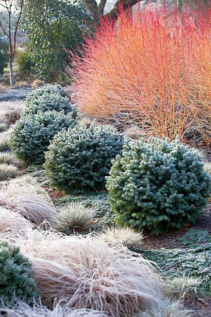 gradina iarna plante pentru decor iarna chiciura ramuri rosii arbust iarba iarna graminee abies brad pitic peisagistica firma amenjare curte simpla