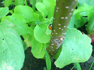 coccinelle au jardin bio