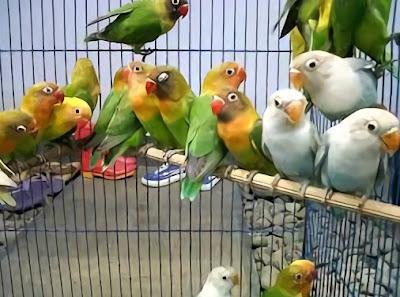 2 Cara Perawatan Burung Lovebird Usia 5 Bulan Agar Ngekek Panjang